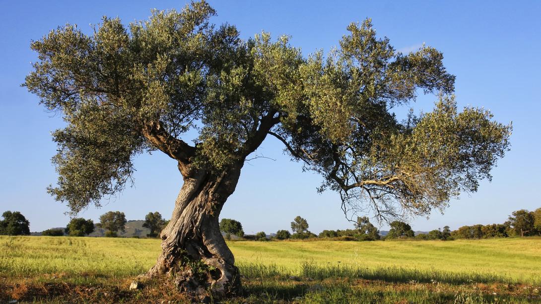 Avviso esplorativo per manifestazione di interesse finalizzata all'affidamento tramite procedura negoziata ai sensi dell'art.36 comma 2 lettera b) del D.Lgs 50/2016 e s.m.i.  della fornitura di piantine di olivo
