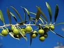 """Avviso esplorativo per manifestazione di interesse finalizzata all'affidamento tramite procedura negoziata della fornitura di piantine di olivo relativa il Bando per la """"CONCESSIONE DI CONTRIBUTI AGLI AGRICOLTORI SINGOLI E/O ASSOCIATI"""